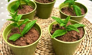 Image of what looks like five mint plants growing pots but they are actually mint chocolate desserts