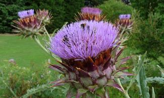 flowering globe artichoke with bees