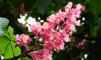 horsechestnut bloom