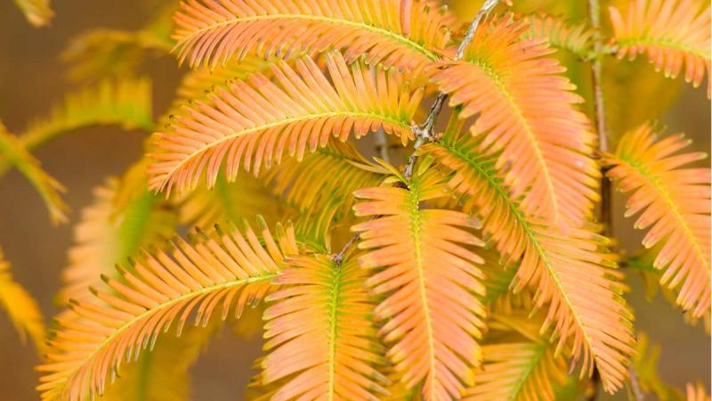 Autumn foliage on the dawn redwood