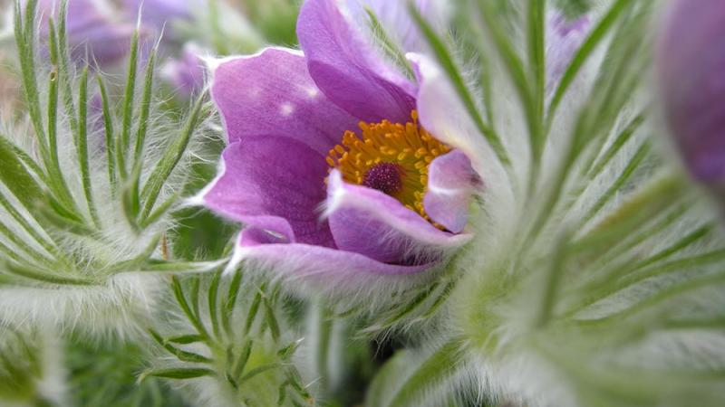 Purple flower - Pulsatilla Vulgaris