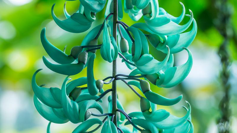 Detail of the Jade Vine at the Botanic Garden